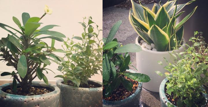 Lissに観葉植物が増えました〜。